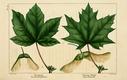 NAS-044 Acer pseudoplatanus & platanoides.png