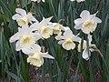 Narcissus (Las Vegas cultivar), Real Jardín Botánico, Madrid (2).jpg