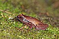 Narrow-mouthed frog (Plethodontohyla notosticta) Ranomafana.jpg