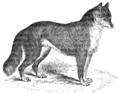 Native Dog, or Dingoe.png
