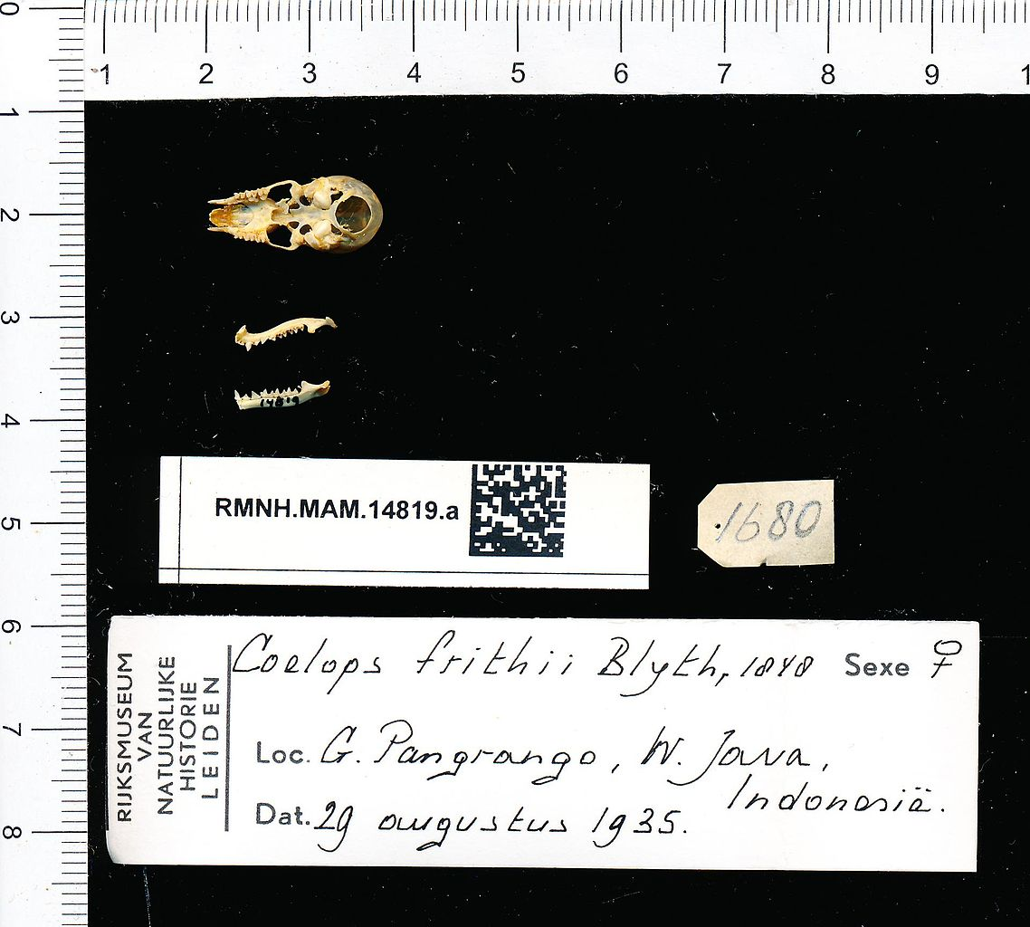 File:Naturalis Biodiversity Center - RMNH.MAM.14819.a pal - Coelops frithii  - skull.jpeg - Wikimedia Commons