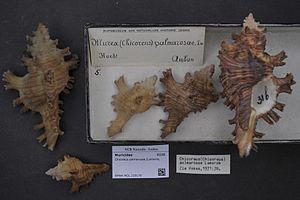 Muricidae - Museum specimens of Chicoreus palmarosae (Lamarck, 1822), Naturalis