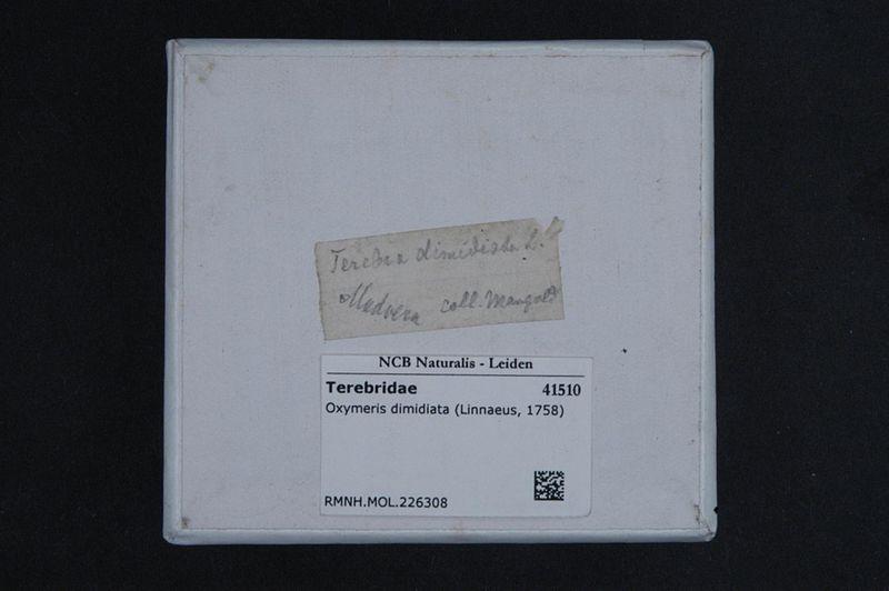 File:Naturalis Biodiversity Center - RMNH.MOL.226308 1 - Oxymeris dimidiata (Linnaeus, 1758) - Terebridae - Mollusc shell.jpeg