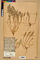 Neuchâtel Herbarium - Alyssum alyssoides - NEU000021931.jpg