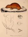 Neue Wirbelthiere zu der Fauna von Abyssinien gehörig (1835) Tachyoryctes splendens.png