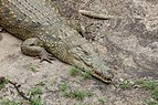 Nile crocodile, Lake St Lucia.jpg