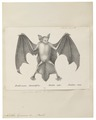 Noctilio leporinus - 1700-1880 - Print - Iconographia Zoologica - Special Collections University of Amsterdam - UBA01 IZ20800003.tif