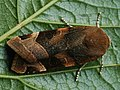 Noctua fimbriata - Broad-bordered yellow underwing - Земляная совка каёмчатая (41089362341).jpg