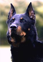 Beauceron noir-bordeau