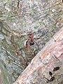 Noordwijk - Behaarde rode bosmier (Formica rufa) v3.jpg