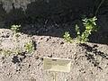 Nothofagus antarctica - Botanical Garden in Kaisaniemi, Helsinki - DSC03593.JPG