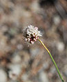 Nude buckwheat Eriogonum nudum flowers close.jpg