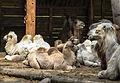 Nyíregyháza Zoo, camels-2.jpg
