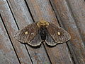 Nygmia guttulata, female (22731453701).jpg