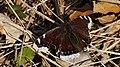 Nymphalis antiopa - Mourning cloak - Траурница (47995064963).jpg