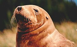 New Zealand (Hooker's) Sea Lion