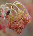 Oak (Quercus sp.) - Flickr - wackybadger.jpg