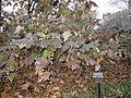 Oakleaf hydrangea winter.jpg