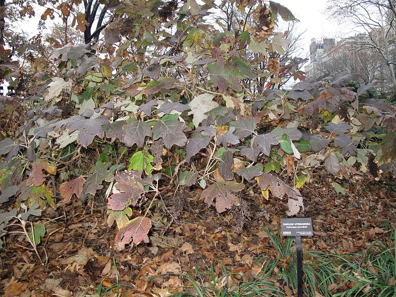Description Oak... Oak Leaf Hydrangeas In Winter
