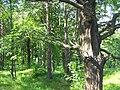 Oaks - panoramio.jpg