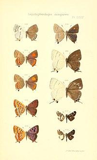 Oberthur 1914LepidopterologieCompariePlateCCLV.jpg