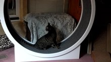 File:Ocicat on Cat Wheel.webm