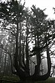 Octopus Tree, Cape Meares, Oregon August 2009 - panoramio.jpg