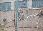 Odesa-zoo (Phalacrocorax carbo).jpg
