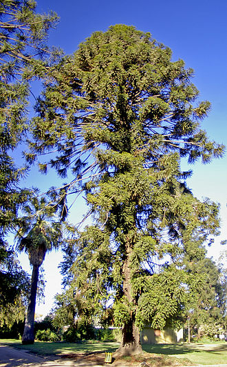 Araucaria bidwillii - Image: Old Araucaria bidwillii