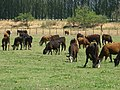 Olivar, vacas. - panoramio (2).jpg