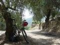 Olive grove - panoramio (1).jpg