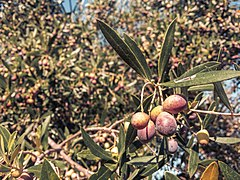 Olives branch.jpg