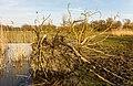 Ontwortelde boom bij vogelkijkhut De Krakeend. Locatie, Oostvaardersplassen 02.jpg