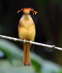 Onychorhynchus swainsoni - Atlantic Royal Flycatcher 01.JPG