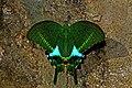 Open wing position of Papilio paris Linnaeus, 1758 – Paris Peacock DSC 5478 jayanti.jpg