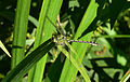 Ophiogomphus cecilia, Grüne Flussjungfer 01.jpg