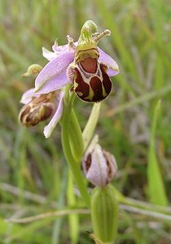 meaning of ophrys