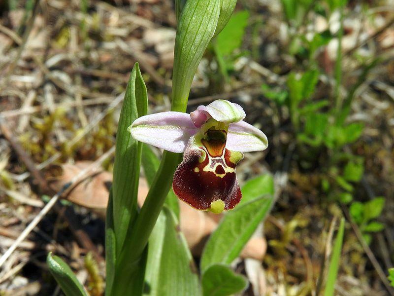 File:Ophrys holoserica 27.jpg