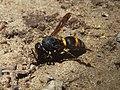 Orancistrocerus drewseni, Institute for Nature Study 02.jpg