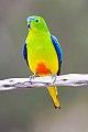Orange-bellied Parrot (Neophema chrysogaster) (8079612553).jpg