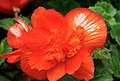 Orange begonia.jpg