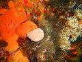 Orange sponge at Rambler Rock south reef P9078417.JPG