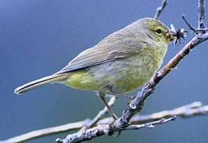 Orange-crowned warbler - Image: Orangecrownedwarbler 27