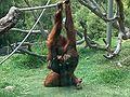 Orangutans-Siamang03.jpeg