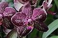 Orchid (33157807071).jpg