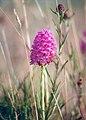 Orchid - coastal bog, Banna Strand - geograph.org.uk - 301952.jpg