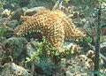 Oreaster reticulatus and Caulerpa racemosa.jpg