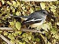 Oriental Magpie Robin Copsychus saularis female best DSCN2295 (7).jpg