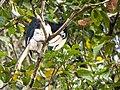 Oriental Pied Hornbill (14154422952).jpg