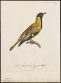 Oriolus larvatus - 1796-1808 - Print - Iconographia Zoologica - Special Collections University of Amsterdam - UBA01 IZ16400187.tif